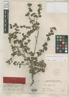 Type of Sida helleri Rose, J.N. 1895 [family MALVACEAE]