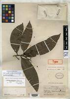 Holotype of Aniba mexicana Kostermans, A.J.G.H. 1938 [family LAURACEAE]