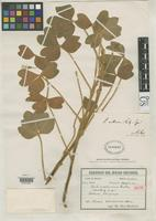 Isotype of Xanthoxalis mollissima Rusby, H.H. 1920 [family OXALIDACEAE]
