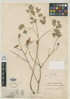 Isotype of Aquilegia shockleyi Eastwood, A. 1905 [family RANUNCULACEAE]