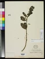 Isotype of Phoradendron zacapanum Trelease, W. 1916 [family LORANTHACEAE]