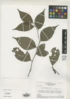 Isotype of Piper limosum Yuncker, T.G. 1966 [family PIPERACEAE]