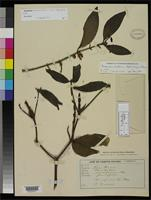 Isotype of Phoradendron campinense Trelease, W. 1916 [family LORANTHACEAE]