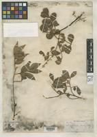 Isotype of Moschoxylum trachyanthum Grisebach, A.H.R. 1861 [family MELIACEAE]