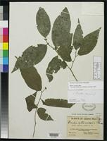 Holotype of Prockia costaricensis Standley, P.C. 1937 [family FLACOURTIACEAE]