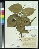 Isotype of Passiflora ceratocarpa Silveira, F. 1930 [family PASSIFLORACEAE]