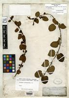 Holotype of Stenogyne calaminthoides Gray, A. 1862 [family LAMIACEAE]