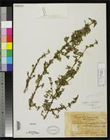 Isotype of Fuchsia aprica Lundell, C.L. 1940 [family ONAGRACEAE]
