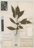 Holotype of Besleria congestiflora Donnell Smith, J. 1916 [family GESNERIACEAE]