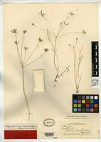 Lectotype of Leibergia orogenioides Coulter, J.M. & Rose, J.N. 1896 [family APIACEAE]