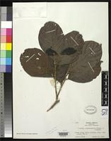 Isotype of Licania costaricensis Standley, P.C. & Steyermark, J.A. 1940 [family ROSACEAE]