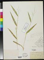 Isotype of Panicum calliphyllum Ashe, W.W. 1898 [family POACEAE]