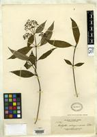 Isotype of Hedyotis sibuyanensis Elmer, A.D.E. 1911 [family RUBIACEAE]