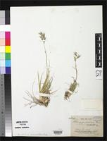 Isotype of Atheropogon radicosus Fournier, E.P.N. 1886 [family POACEAE]