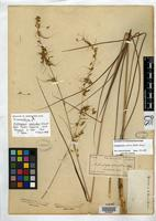 Isoneotype of Andropogon secundus Elliott, S. 1821 [family POACEAE]