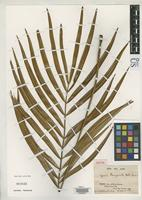 Isotype of Zamia brongniartii Weddell, H.A. 1850 [family CYCADACEAE]