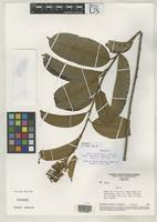 Isotype of Mabea bahiensis Emmerich, M. 1989 [family EUPHORBIACEAE]