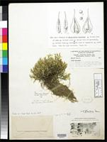 Holotype of Selaginella humifusa Van Eseltine, G.P. 1918 [family SELAGINELLACEAE]