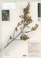 Isotype of Acacia auratiflora Cowan, R.S. & Maslin, B.R. 1999 [family FABACEAE]