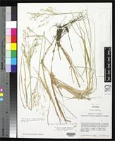 Isotype of Agrostis novogaliciana McVaugh, R. 1983 [family POACEAE]