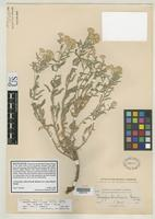 Isolectotype of Chrysopsis hirsutissima Greene, E.L. 1900 [family ASTERACEAE]