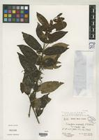 Isotype of Tricalysia anomala var. guineensis Robbrecht, E. 1983 [family RUBIACEAE]