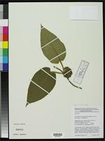 Isotype of Gonolobus tenuisepalus Krings, A. 2002 [family ASCLEPIADACEAE]