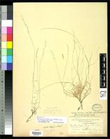 Holotype of Muhlenbergia curtifolia var. griffithsii Scribner, F.L. 1911 [family POACEAE]