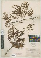 Isolectotype of Acacia boliviana Rusby, H.H. 1907 [family FABACEAE]