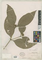 Isotype of Psychotria ruizii Standley, P.C. 1931 [family RUBIACEAE]