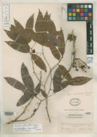 Isotype of Pithecellobium caulostachyum Merrill, E.D. 1915 [family FABACEAE]