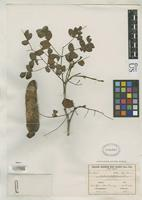 Isosyntype of Caesalpinia paraensis Ducke, A. 1925 [family FABACEAE]