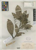 Isotype of Ocotea trianae Rusby, H.H. 1910 [family LAURACEAE]