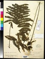 Holotype of Dryopteris rusbyi Christensen, C.F.A. 1909 [family DRYOPTERIDACEAE]