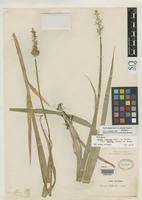 Filed as Carex stipata var. maxima Chapman, A.W. 1862 [family CYPERACEAE]