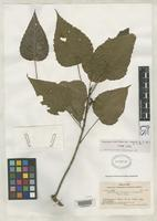 Isotype of Macaranga crenata Smith, A.C. 1936 [family EUPHORBIACEAE]