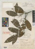 Isotype of Aniba duckei Kostermans, A.J.G.H. 1938 [family LAURACEAE]