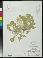 Filed as Physaria grahami Morton, C.V. 1937 [family BRASSICACEAE]