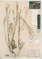 Isotype of Linum pringlei Watson, S. 1888 [family LINACEAE]