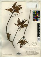 Isotype of Melochia grayana Smith, A.C. 1950 [family STERCULIACEAE]