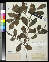 Holotype of Torrubia panamensis Standley, P.C. 1918 [family NYCTAGINACEAE]
