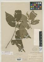 Holotype of Piper bahianum Yuncker, T.G. 1966 [family PIPERACEAE]