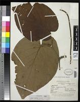 Holotype of Piper cyprium Trelease, W. & Yuncker, T.G. 1950 [family PIPERACEAE]
