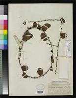 Holotype of Ximenia pubescens Standley, P.C. 1919 [family OLACACEAE]