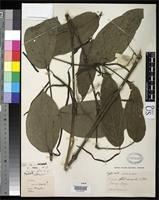 Isotype of Piper glabricaule Candolle, A.C.P. de 1917 [family PIPERACEAE]