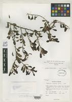 Holotype of Taxillus canescens Wiens, D. 1971 [family LORANTHACEAE]