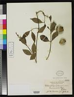 Isotype of Willughbeia luzoniensis Merrill, E.D. 1909 [family APOCYNACEAE]