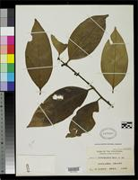 Isotype of Garcinia busuangaensis Merrill, E.D. 1925 [family CLUSIACEAE]