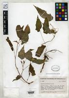 Isotype of Begonia yunckeri Standley, P.C. 1938 [family BEGONIACEAE]