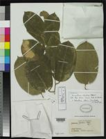 Filed as Jugastrum sifontesii Pittier, H. 1937 [family LECYTHIDACEAE]